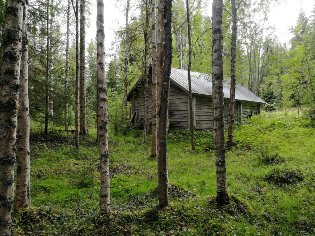 En gammal fäbodvall en sommardag med grönska på marken och björkstammar.